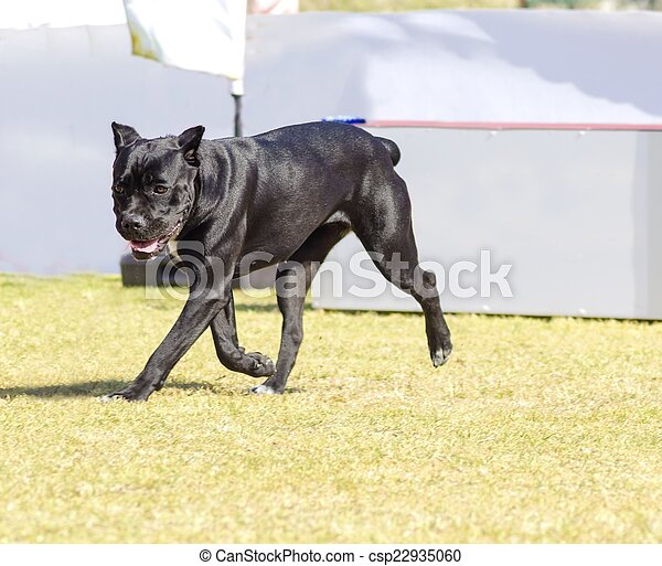 A Young Beautiful Black And White Medium Sized Cane Corso Dog With