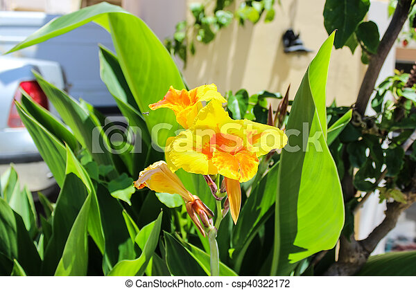 Canna lily flowers canna lily canna blooming yellow flowers in canna lily flowers csp40322172 mightylinksfo