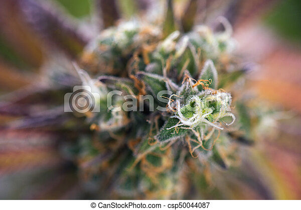Cannabis cola (Mangopuff marijuana strain) with visible hairs and leaves on late flowering stage - csp50044087