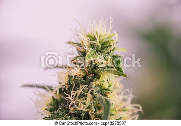Cannabis cola (ruassian doll marijuana strain) on late flowering stage - csp48278507