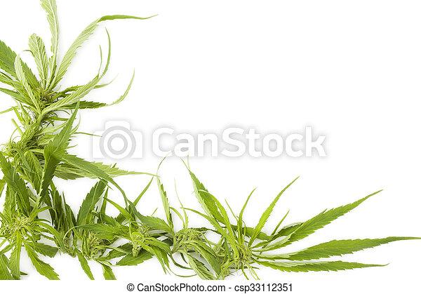 Trasfondo cannabis con espacio de copia. - csp33112351