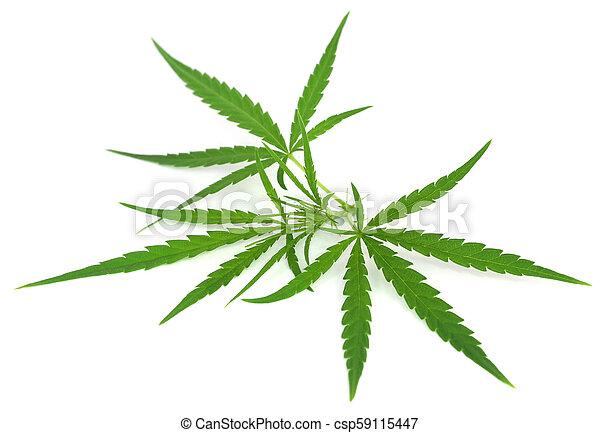 cannabis, folhas - csp59115447