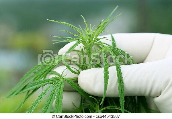 cannabis, folhas - csp44543587