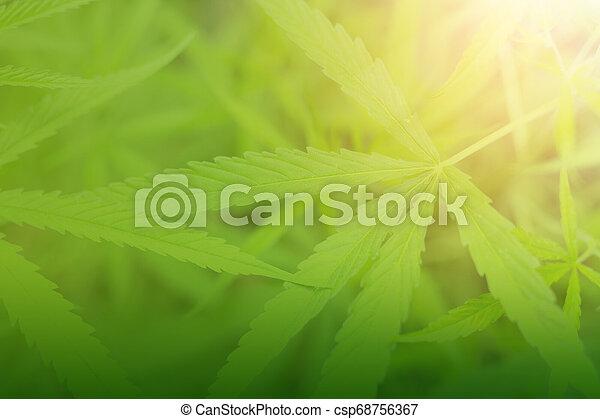cannabis, fundo, verde, marijuana, leaves. - csp68756367