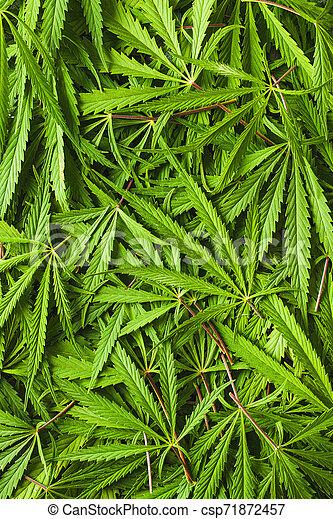cannabis, marijuana, leaves. - csp71872457