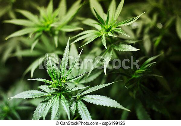 cannabis, plano de fondo - csp6199126