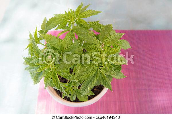 cannabis, planta pote - csp46194340