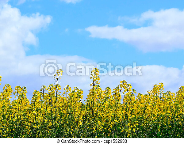 Canola crop in Bloom - csp1532933