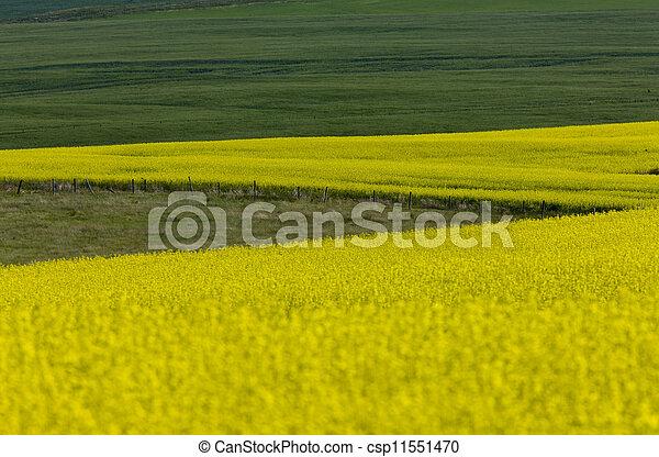 Canola Crop - csp11551470