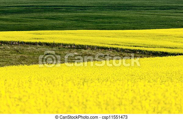 Canola Crop - csp11551473