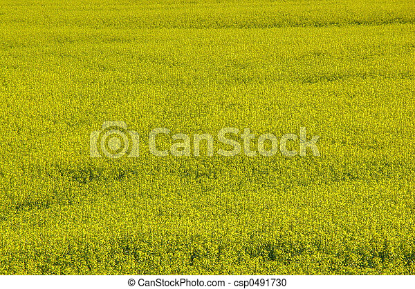 Canola Crop - csp0491730