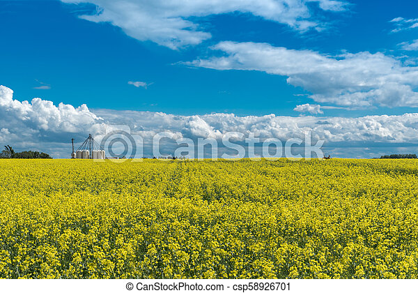 Canola field in bloom and a deer jumping through it with a fertilizer plant in background - csp58926701