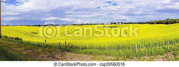 Canola Field in bloom - csp39560516