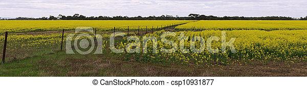 Canola field panorama - csp10931877