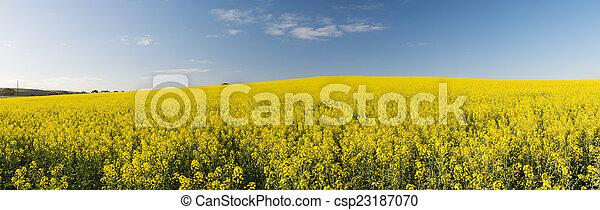 Canola Field Panorama - csp23187070