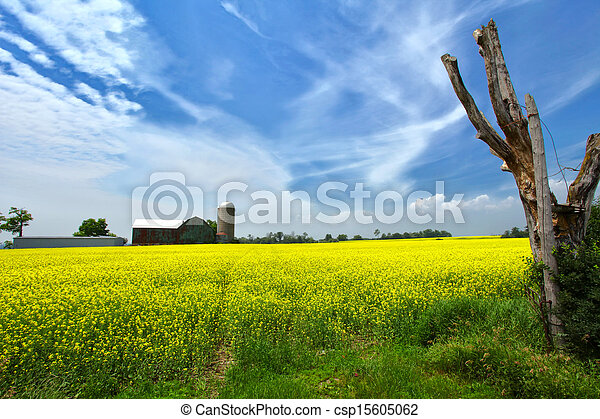 Canola field - csp15605062
