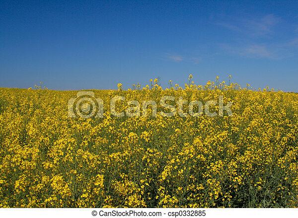 Canola field - csp0332885