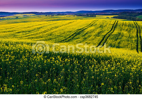 Canola field - csp3682745