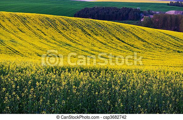Canola field - csp3682742