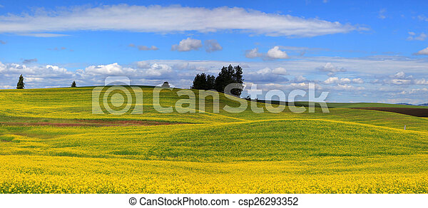 Canola fields - csp26293352