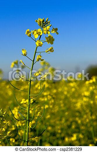 Canola Flower in Field - csp2381229