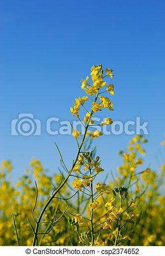 Canola Flower - csp2374652
