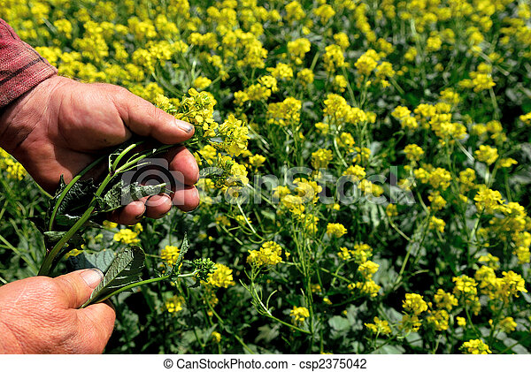 Canola in Farmers Hand - csp2375042