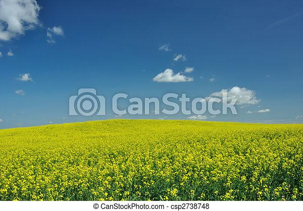 CANOLA IN FIELD IN ALBERTA - csp2738748