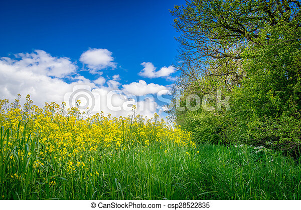 Canola on a green meadow - csp28522835