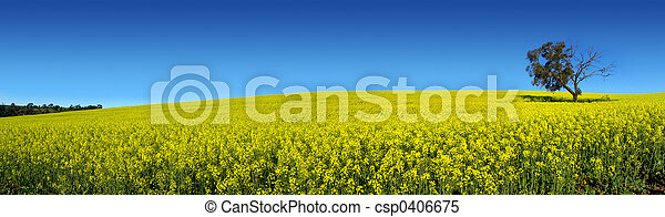 Canola Panoramic - csp0406675