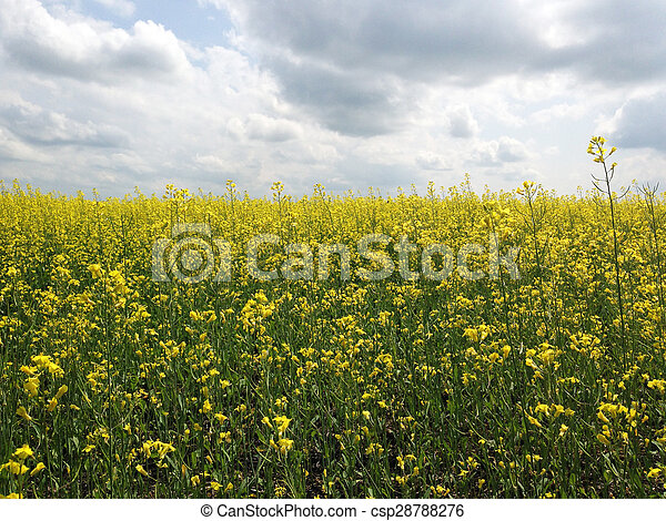 Canola plant crop yellow flowers of canola crop canola plant crop csp28788276 mightylinksfo