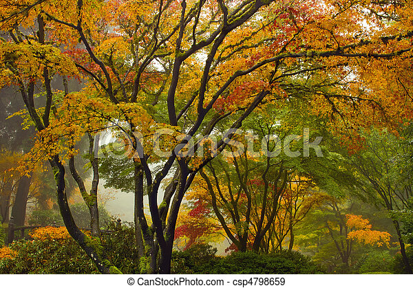 Canopy of Japanese Maple Trees in the Fall 2 - csp4798659
