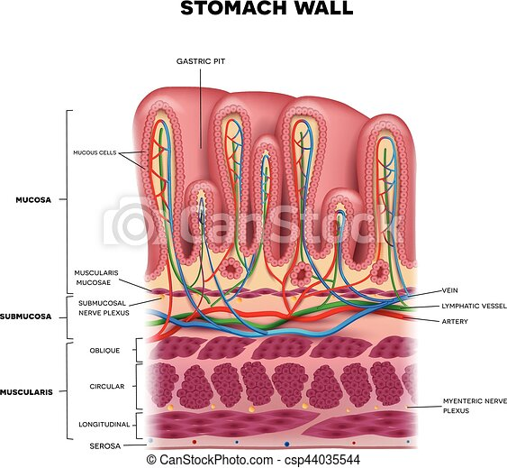 Capas, detallado, estómago, colorido, anatomía, pared, hermoso ...