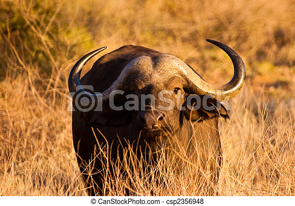 Cape buffalo grazing in the serengeti - csp2356948