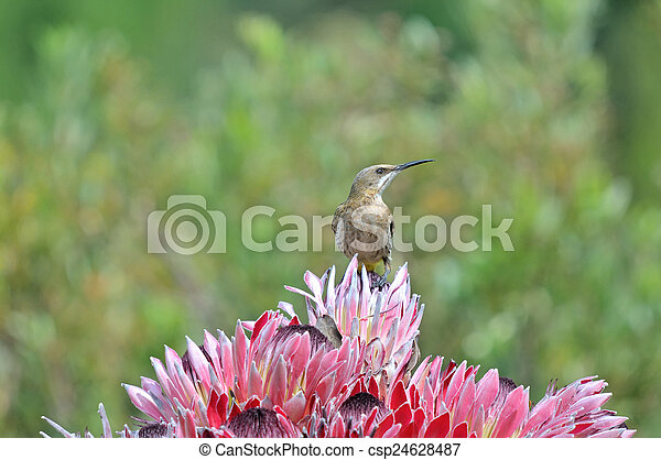 Cape sugarbird on protea flowers - csp24628487