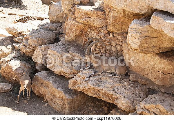 Capra ibex nubiana - csp11976026