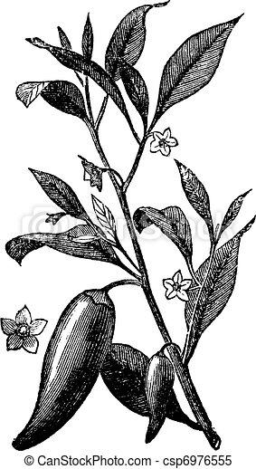 (capsicum, incisione, mississippi, pepe, vendemmia, annuale, peperoncino, sport, o, annuum) - csp6976555