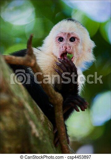 capuchin. - csp4453897