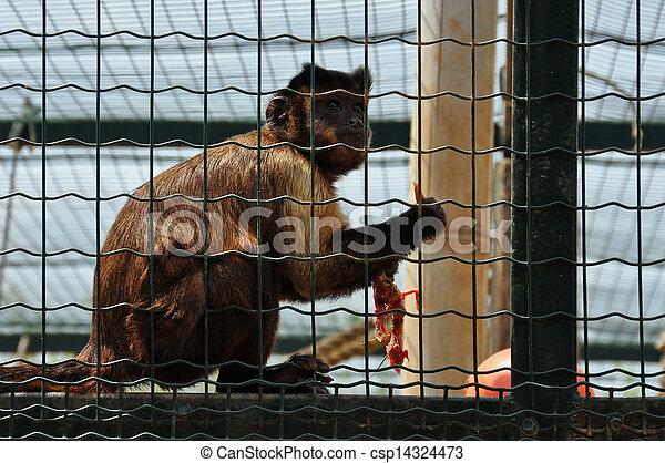 capuchin monkey eating bird - csp14324473