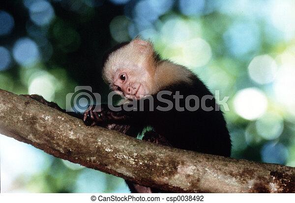 Capuchin Monkey - csp0038492