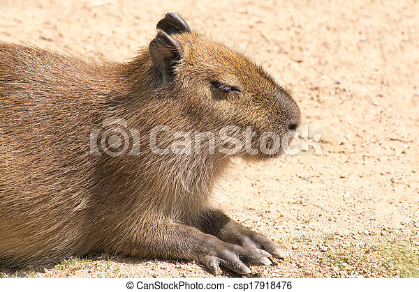 Capybara is a semi-aquatic mammal found throughout almost all countries of South America - csp17918476