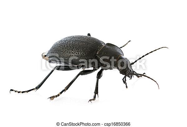 Carabus coriaceus - csp16850366