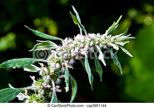 cardiaca, herba, leonurus , leonuri - csp3951144