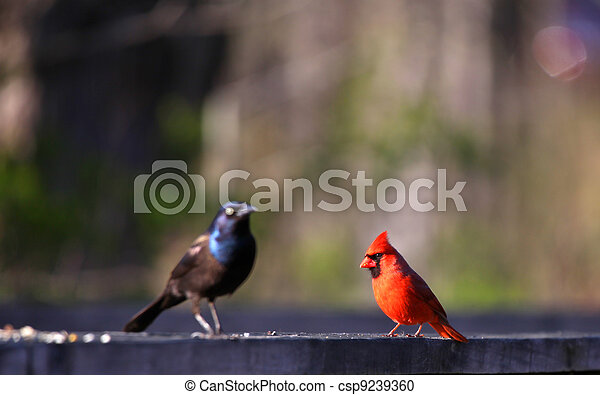 Cardinal and common Grackle - csp9239360