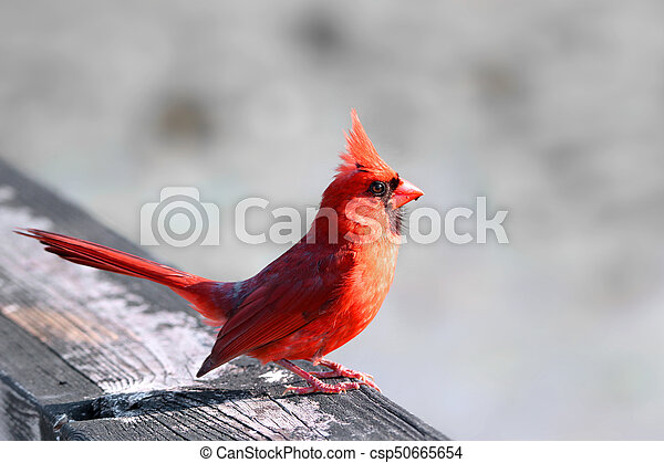 Cardinal Bird - csp50665654