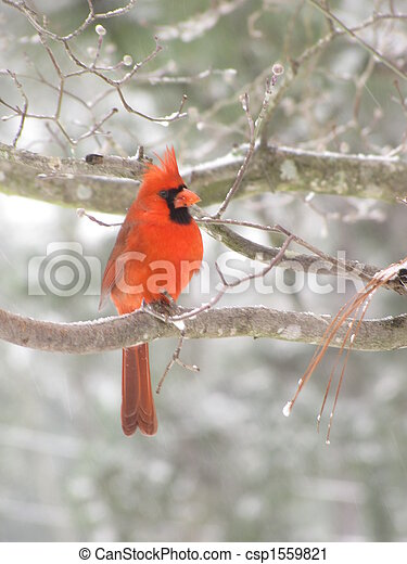 cardinal in tree - csp1559821