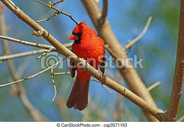 Cardinal Male - csp3571163