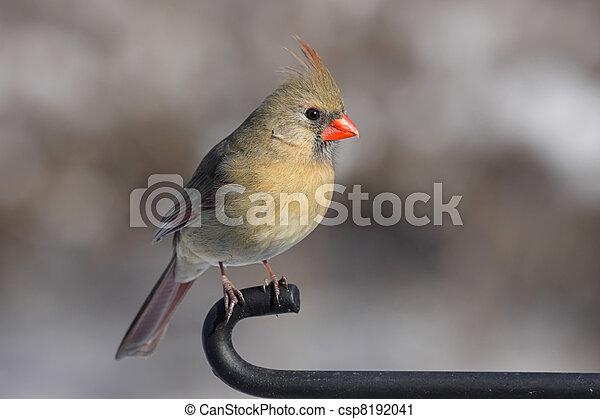 Cardinal On A Branch - csp8192041