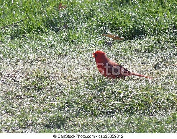 Cardinal - csp35859812
