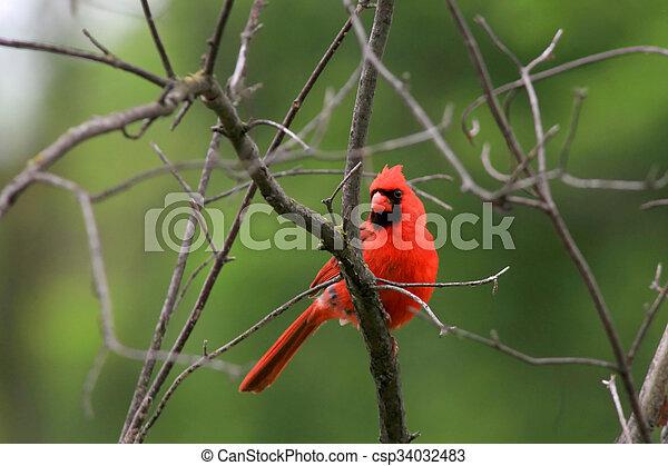 Cardinal - csp34032483